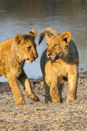Lion siblings