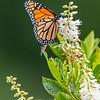 Monarch Butterfly 7/27/16