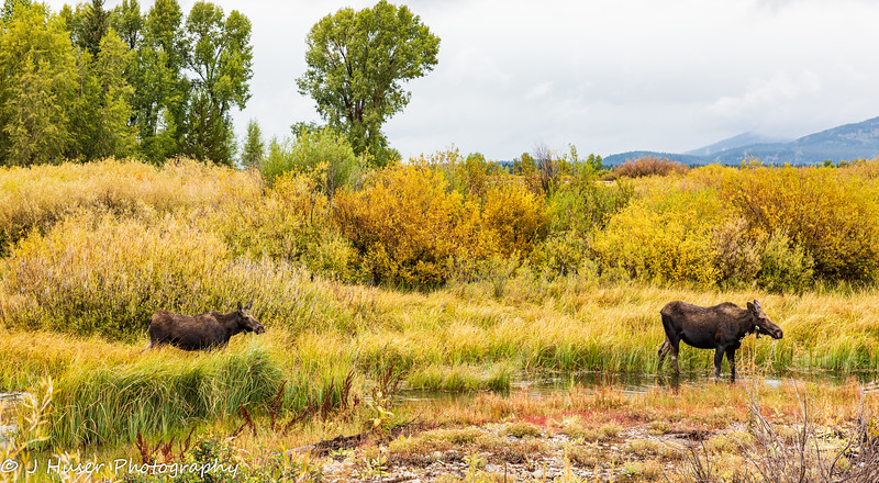 Female moose and calf surrounded by Fall color