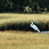 Snowy Egret stands in a marsh in Greenport, New York