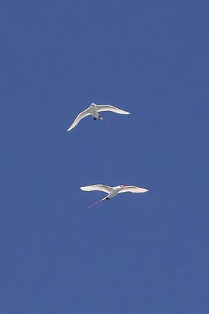 Tropic bird pair