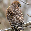 Red-Shouldered Hawk 3/1/19