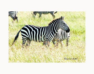 Zebra in the grass
