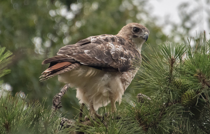 Red-Tailed Hawk 6/23/16