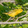 Yellow Warbler 5/25/16