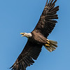 Bald Eagle in Flight 5/21/17
