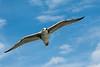 Great black back gull