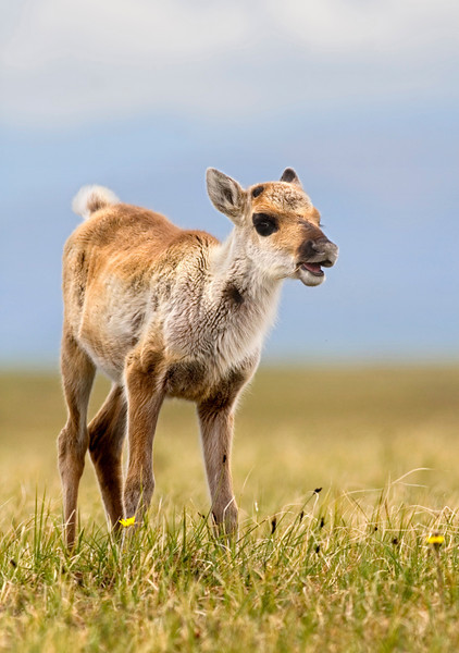 A caribou calf grazes on the coastal plain of the Arctic National Wildlife Refuge. July, 2010.