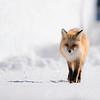 Foxy Stride