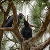Black Vultures - Parent with Fledgling