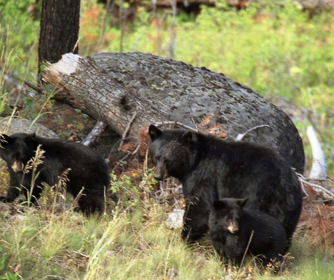 Black Bear Family - Yellowstone National Park