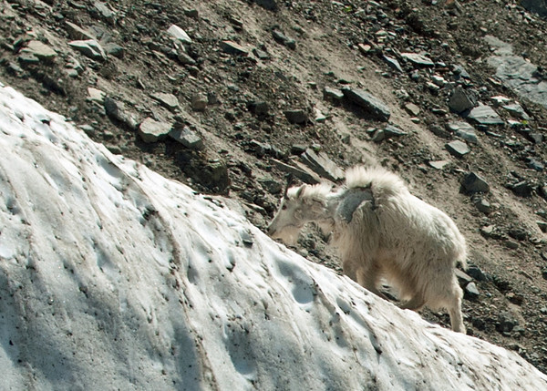 Ice & Rock Climber: mountain goat grazing alongside icy wayside of the Road to the Sun in Montana's Glacier National Park.