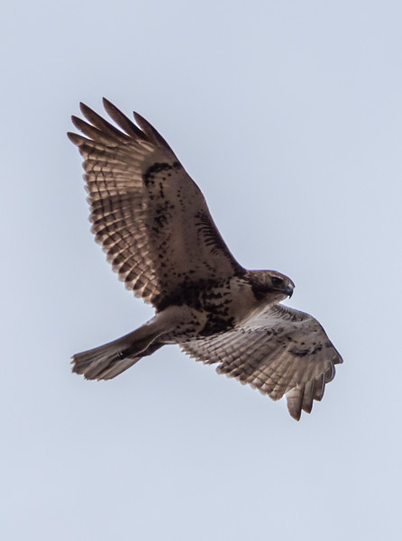 Red-Tailed Hawk 3/30/18