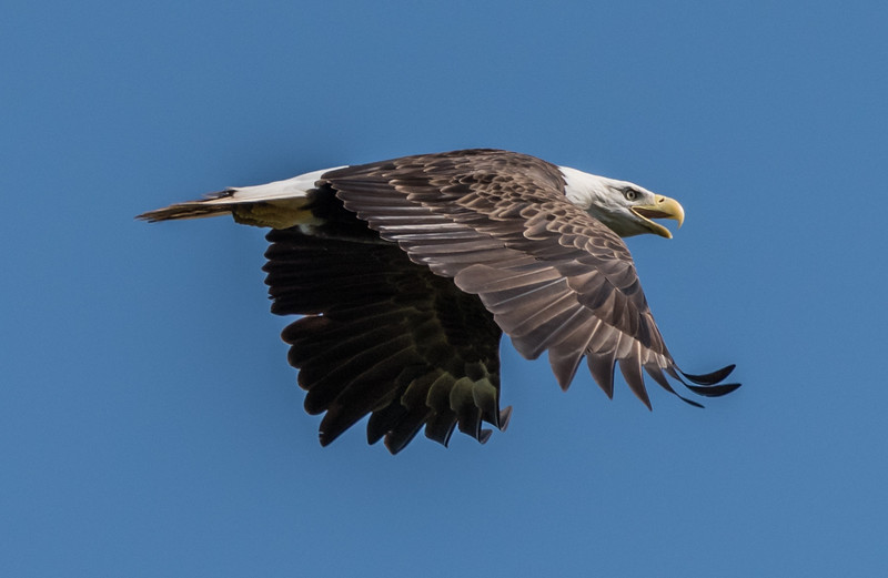 Bald Eagle in Flight 7/23/17