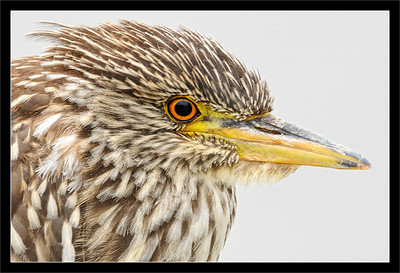Juvenile Night Heron Portrait  Juvenile black-crowned night heron  (a few months old) in the morning  Baylands Park & Nature Preserve Palo Alto, California  15-AUG-2010