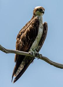 Osprey 6/14/17