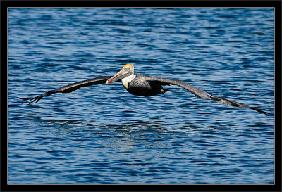 Brown Pelican Over Water  A brown pelican shows its 7-foot wingspan as it flies out to sea.  Moss Landing, California  27-NOV-2011