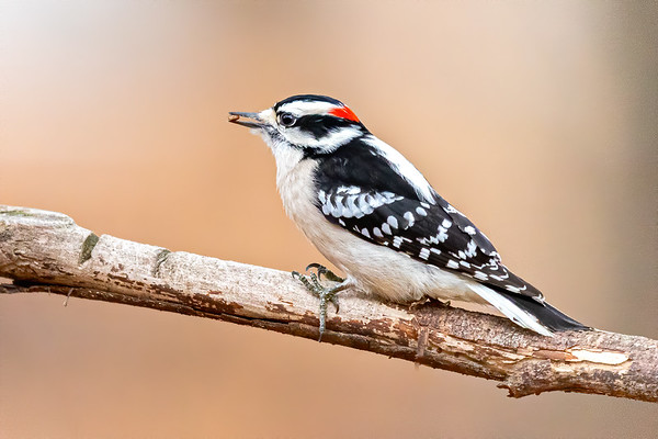 Downy Woodpecker with a seed