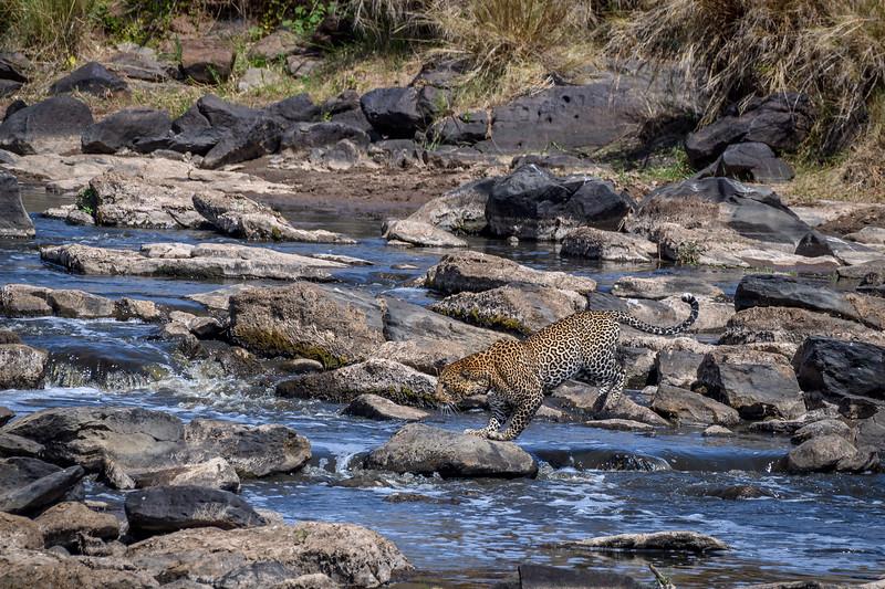 Leopard jumping over rocks in the Mara River, Masai Mara, Kenya, East Africa
