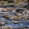 Leopard jumping over rocks in the Mara River, Masai Mara, Kenya, East Africa