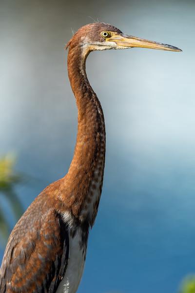 Tricolored Heron — Harbor Island, SC