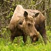 Grazing Moose.  Soldotna, Alaska.