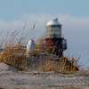 A Snowy Owl In The Dunes With The Barnegat Lighthouse In The Distance 12/31/18
