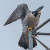 Peregrine Falcon 11/9/16