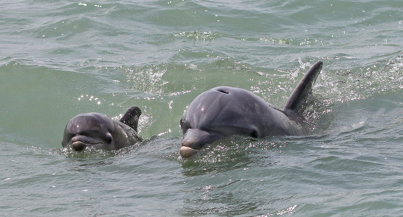 Adult Bottlenose Dolphin with baby, Gulf of Mexico