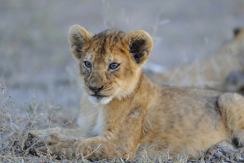 Lion Cub, Ndutu Conservation Area, Tanzania, East Africa