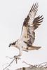 Caver Park Osprey 1 2015