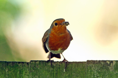 A Robin with a spider snack - London 2016