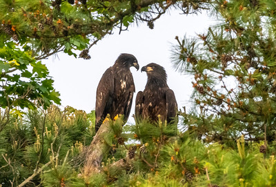 A Pair of Juvenile Bald Eagle Perched in a Tree 6/2/19