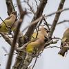 Cedar Waxwings 2/19/16