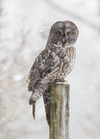 Great Gray in the Snow