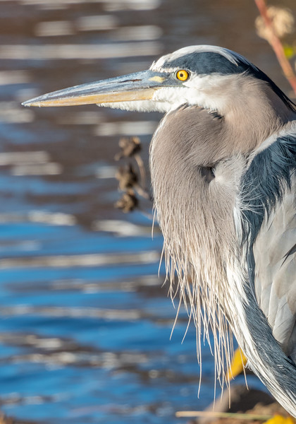 Great Blue Heron 11/10/16