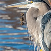 Great Blue Heron 11/10/16