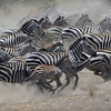 Racing Zebras in the Serengeti, Tanzania, East Africa