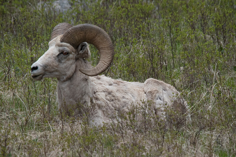 Big Horn Sheep accessing things