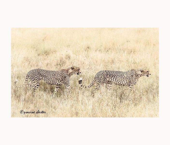 Cheetahs Stalking