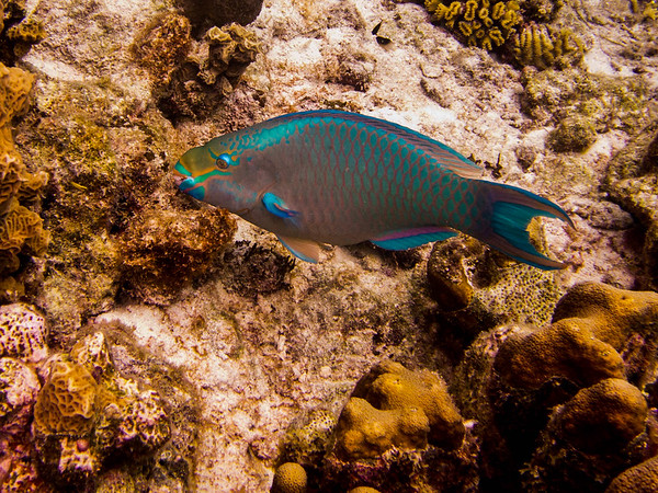 Stoplight Parrotfish, Bonaire