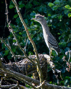 Juvenile Black-Crowned Heron