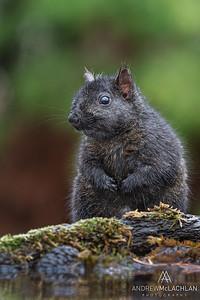 Eastern Gray Squirrel (Sciurus carolinensis), black phase