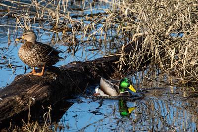 Mama & Papa Ducks