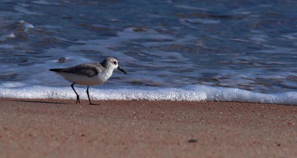 Sandling Plover