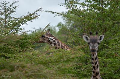 Giraffa camelopardalis tippelskirchi & Buphagus africanus