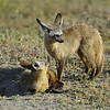 Bat-Eared Foxes, Ndutu Conservation Area, Serengeti, Tanzania, East Africa