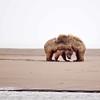 Brown Bear Cubs, Lake Clark NP