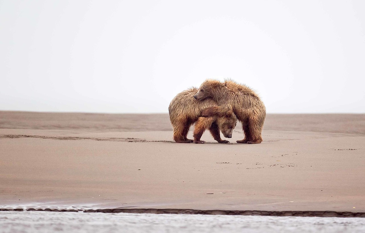 Brown Bear Cubs, Lake Clark NP