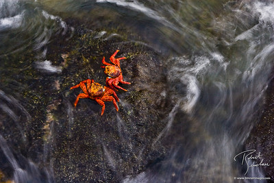 Swirling Sally Lightfoot Crabs